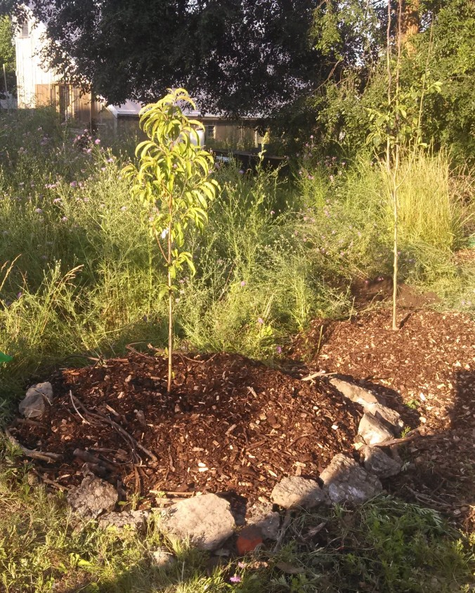 Newly planted fruit trees.
