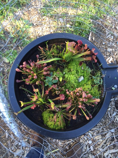 we have brought it inside for the winter where we hope it will help with insect control plants include pitcher plants sundew and venus fly traps - Bog Garden